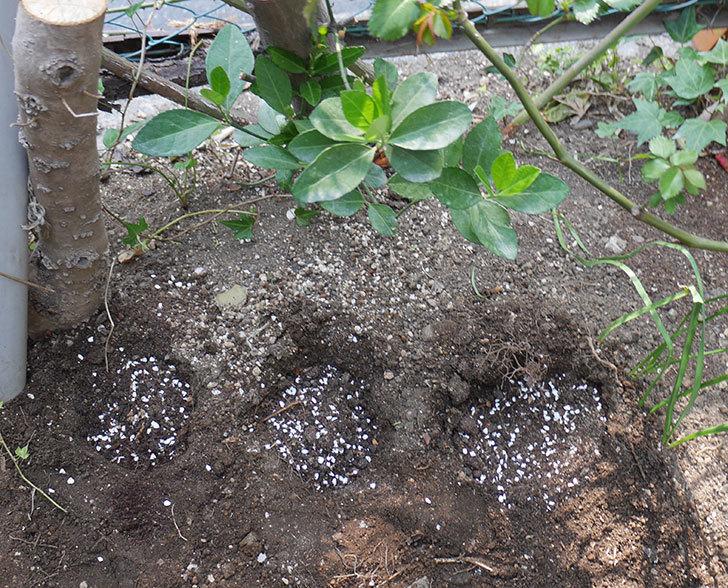 アルベリック・バルビエ(ツルバラ)に寒肥を施した。2019年-2.jpg
