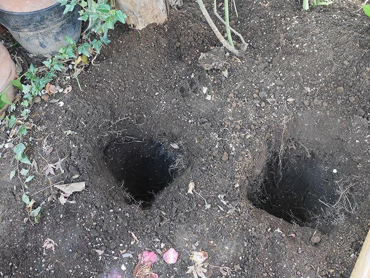 アルベリック・バルビエ(ツルバラ)の4本目に寒肥を施した。ツルバラ。2021年-003.jpg