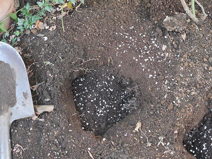 アルベリック・バルビエ(ツルバラ)の4本目に寒肥を施した。ツルバラ。2021年-010.jpg