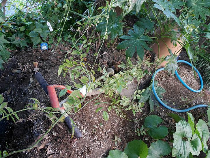 アルベリック・バルビエ(ツルバラ)の挿し木した鉢植えを地植えにした。2017年-11.jpg