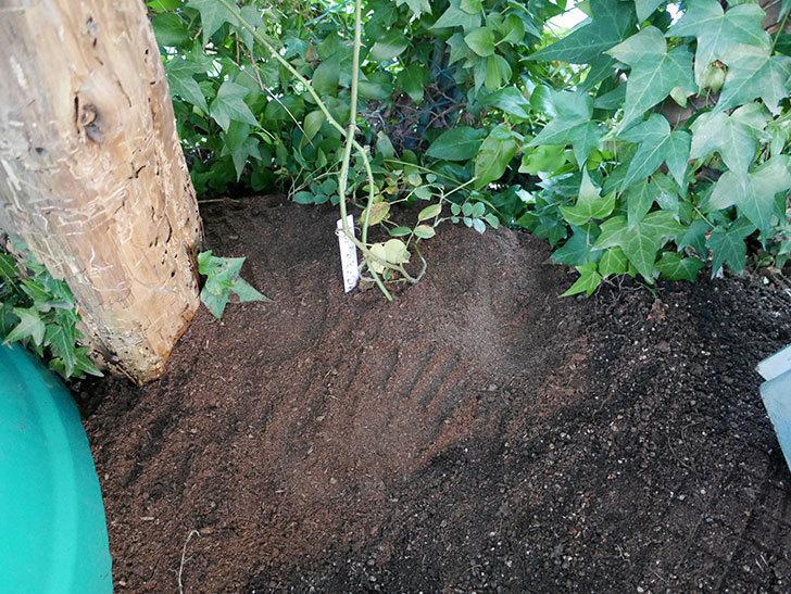 アルベリック・バルビエ(ツルバラ)の挿し木した鉢植えを地植えにした。2017年-15.jpg