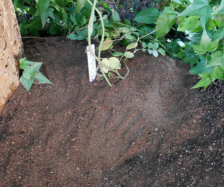 アルベリック・バルビエ(ツルバラ)の挿し木した鉢植えを地植えにした。2017年-16.jpg