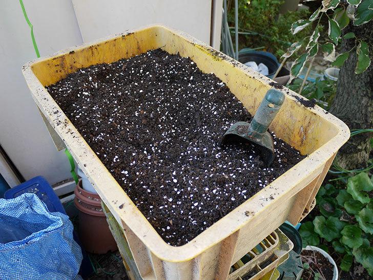 アルベリック・バルビエ(ツルバラ)の挿し木した鉢植えを地植えにした。2017年-7.jpg