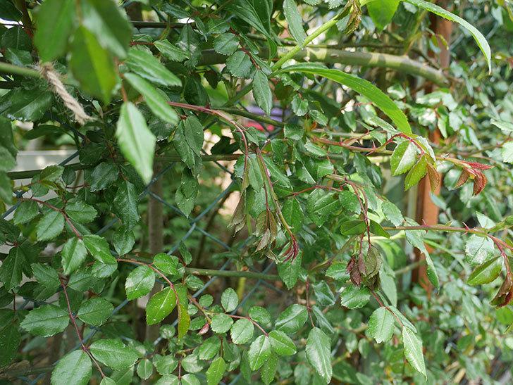 アルベリック・バルビエ(ツルバラ)の新枝が3本バラクキバチにやられて萎れた。2019年-2.jpg