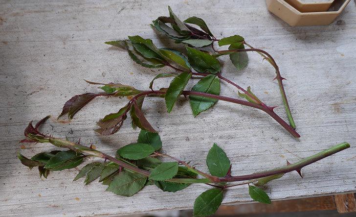 アルベリック・バルビエ(ツルバラ)の新枝が3本バラクキバチにやられて萎れた。2019年-4.jpg