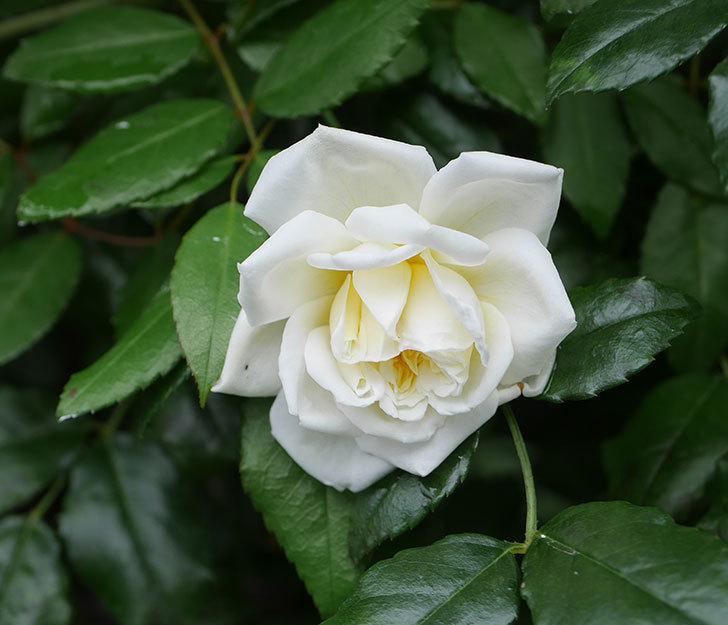 アルベリック・バルビエ(ツルバラ)の花が1個返り咲いた。2019年-1.jpg