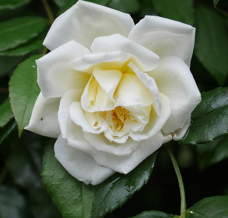 アルベリック・バルビエ(ツルバラ)の花が1個返り咲いた。2019年-2.jpg