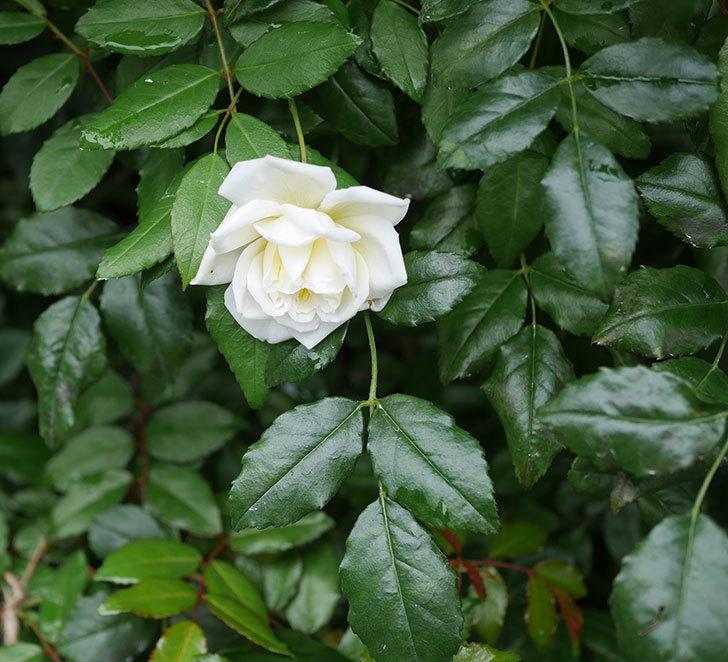 アルベリック・バルビエ(ツルバラ)の花が1個返り咲いた。2019年-3.jpg