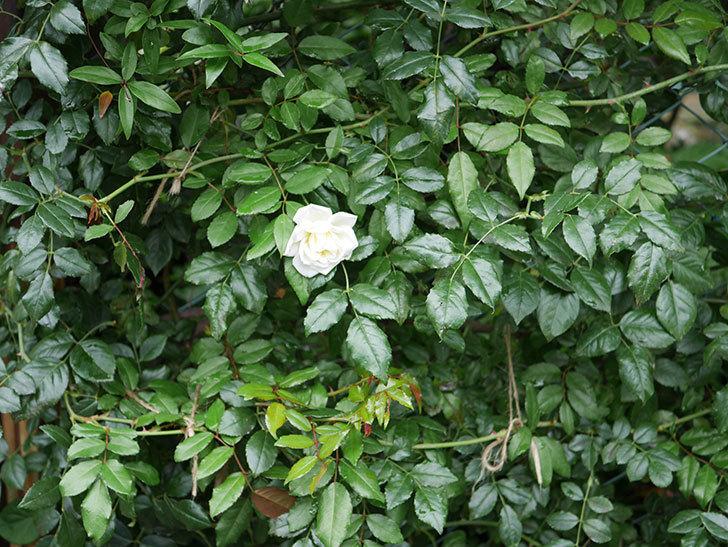 アルベリック・バルビエ(ツルバラ)の花が1個返り咲いた。2019年-4.jpg