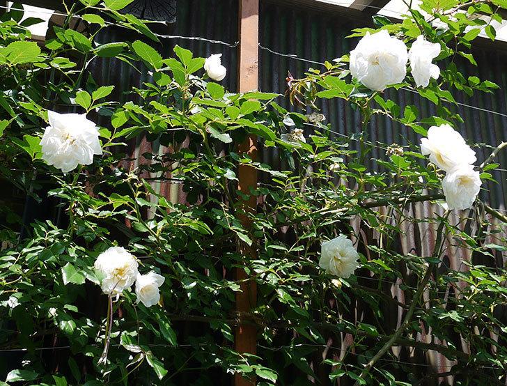 アルベリック・バルビエ(ツルバラ)の花がそろそろ終わりそう。2017年-1.jpg