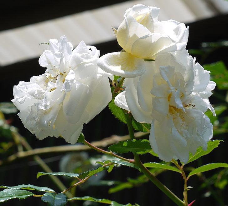 アルベリック・バルビエ(ツルバラ)の花がそろそろ終わりそう。2017年-2.jpg
