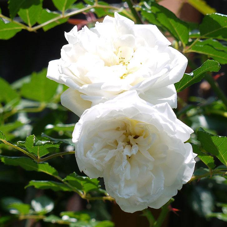 アルベリック・バルビエ(ツルバラ)の花がそろそろ終わりそう。2017年-3.jpg