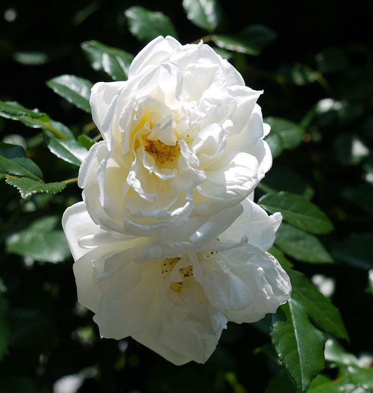 アルベリック・バルビエ(ツルバラ)の花がそろそろ終わりそう。2017年-4.jpg