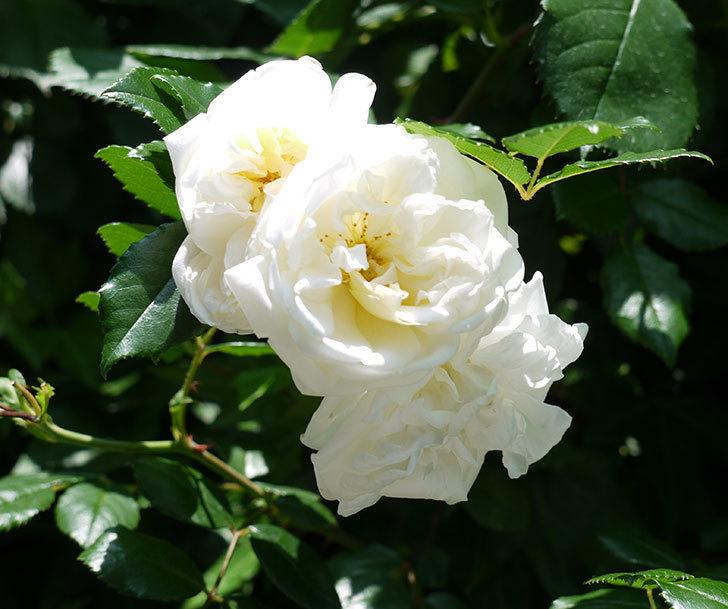 アルベリック・バルビエ(ツルバラ)の花がそろそろ終わりそう。2017年-5.jpg