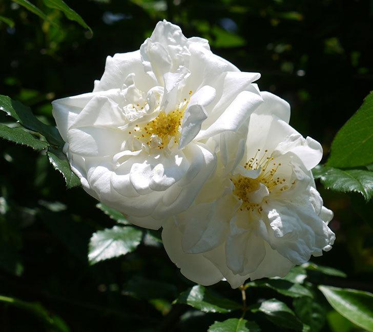 アルベリック・バルビエ(ツルバラ)の花がそろそろ終わりそう。2017年-6.jpg
