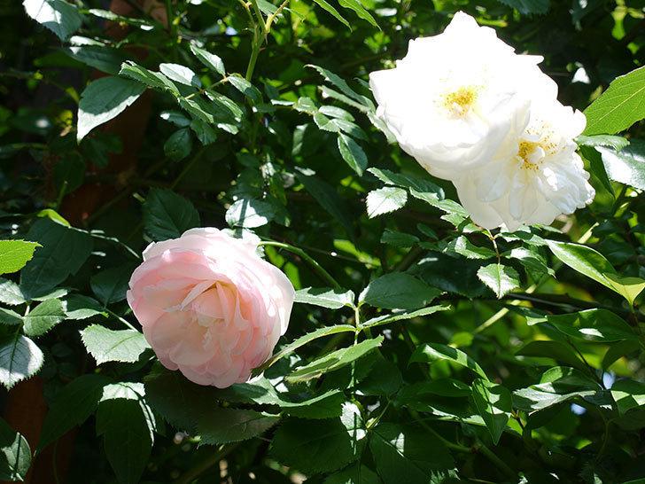アルベリック・バルビエ(ツルバラ)の花がそろそろ終わりそう。2017年-7.jpg