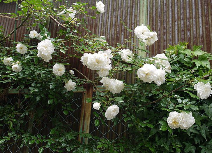 アルベリック・バルビエ(ツルバラ)の花がそろそろ終わる。2016年-2.jpg