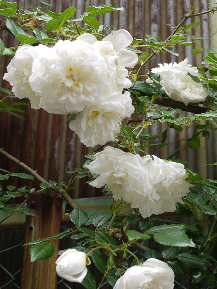 アルベリック・バルビエ(ツルバラ)の花がそろそろ終わる。2016年-3.jpg