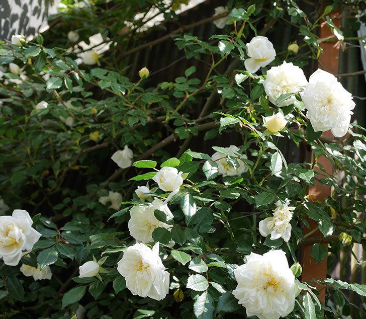 アルベリック・バルビエ(ツルバラ)の花がたくさん咲いた。2018年-1.jpg
