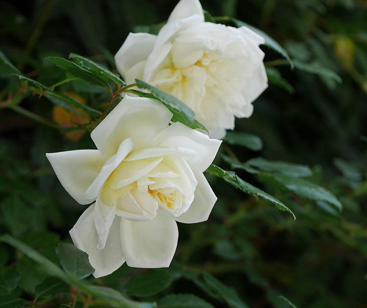 アルベリック・バルビエ(ツルバラ)の花がたくさん咲いた。2018年-10.jpg