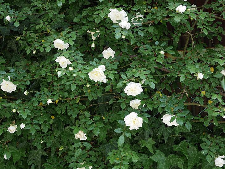 アルベリック・バルビエ(ツルバラ)の花がたくさん咲いた。2018年-11.jpg
