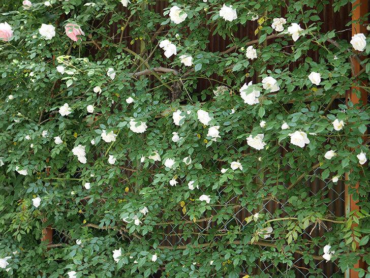 アルベリック・バルビエ(ツルバラ)の花がたくさん咲いた。2018年-12.jpg