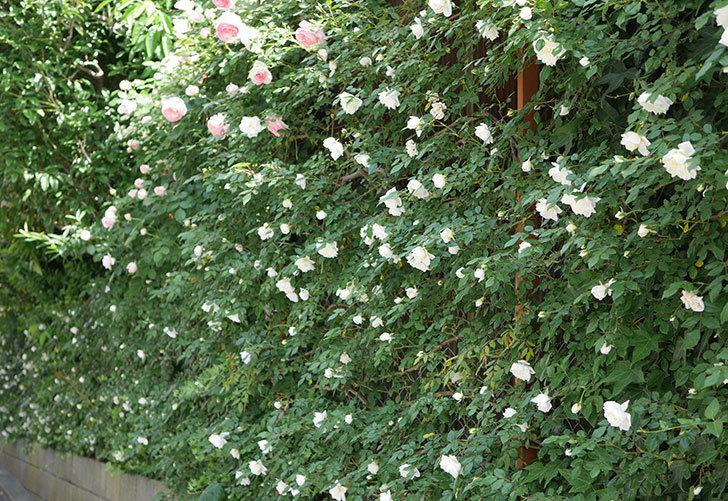 アルベリック・バルビエ(ツルバラ)の花がたくさん咲いた。2018年-13.jpg