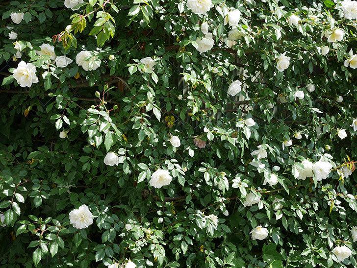 アルベリック・バルビエ(ツルバラ)の花がたくさん咲いた。2018年-14.jpg