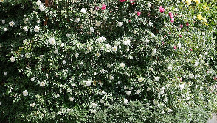 アルベリック・バルビエ(ツルバラ)の花がたくさん咲いた。2018年-15.jpg