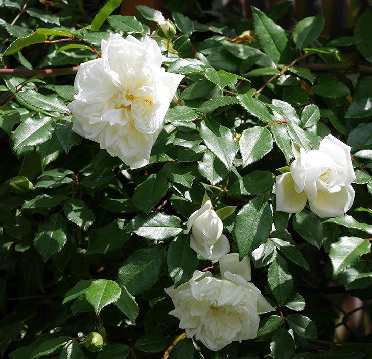 アルベリック・バルビエ(ツルバラ)の花がたくさん咲いた。2018年-16.jpg