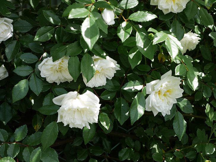 アルベリック・バルビエ(ツルバラ)の花がたくさん咲いた。2018年-17.jpg