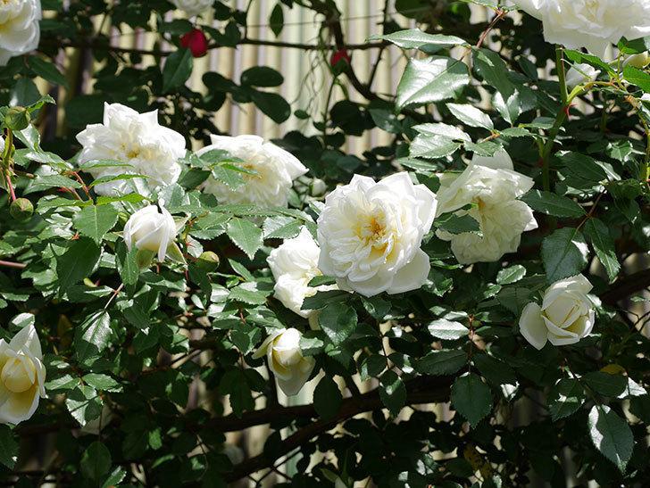 アルベリック・バルビエ(ツルバラ)の花がたくさん咲いた。2018年-18.jpg