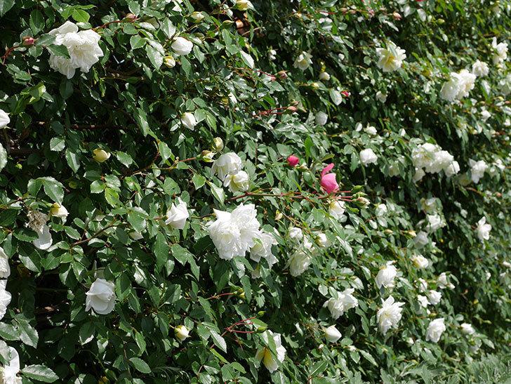 アルベリック・バルビエ(ツルバラ)の花がたくさん咲いた。2018年-19.jpg