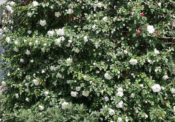 アルベリック・バルビエ(ツルバラ)の花がたくさん咲いた。2018年-2.jpg