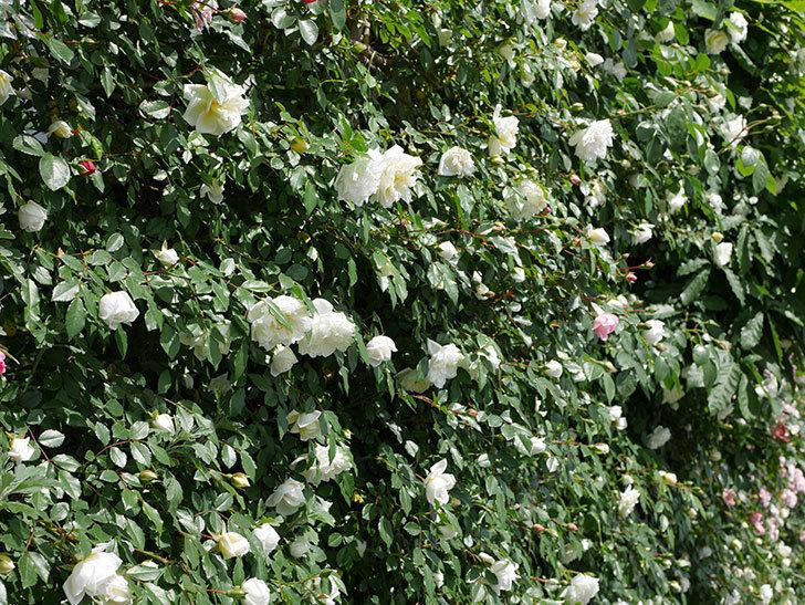 アルベリック・バルビエ(ツルバラ)の花がたくさん咲いた。2018年-20.jpg