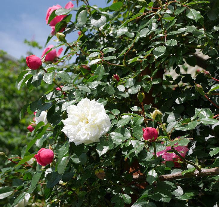 アルベリック・バルビエ(ツルバラ)の花がたくさん咲いた。2018年-22.jpg