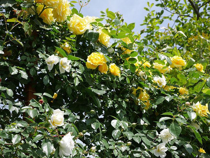 アルベリック・バルビエ(ツルバラ)の花がたくさん咲いた。2018年-23.jpg