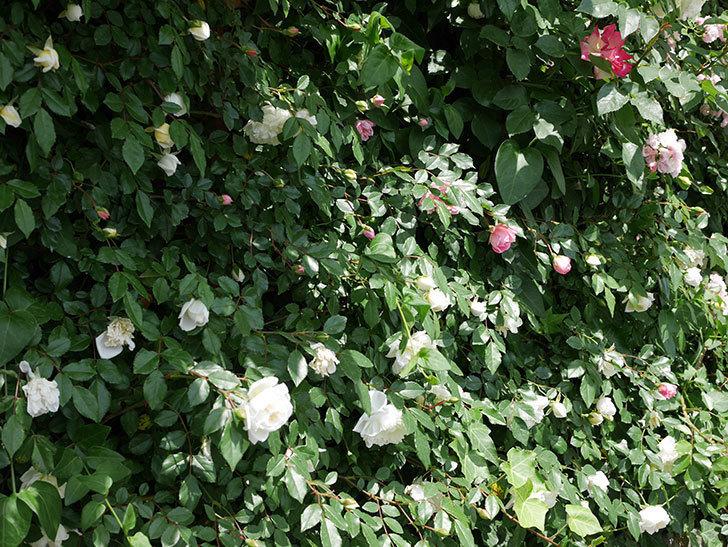 アルベリック・バルビエ(ツルバラ)の花がたくさん咲いた。2018年-26.jpg