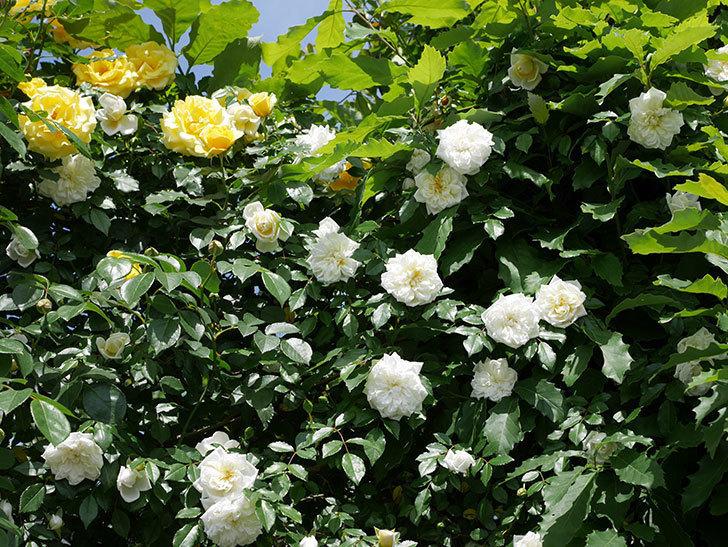アルベリック・バルビエ(ツルバラ)の花がたくさん咲いた。2018年-27.jpg