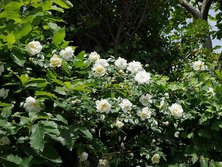 アルベリック・バルビエ(ツルバラ)の花がたくさん咲いた。2018年-28.jpg