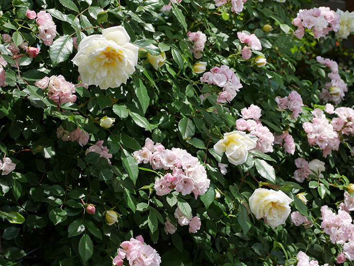アルベリック・バルビエ(ツルバラ)の花がたくさん咲いた。2018年-29.jpg