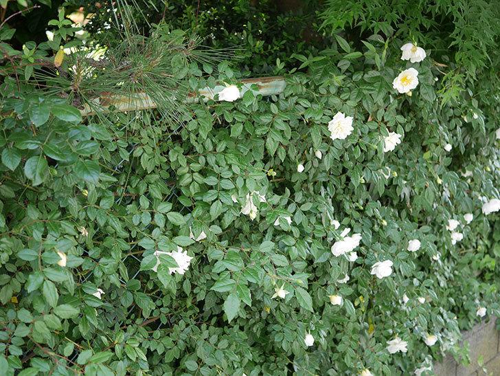 アルベリック・バルビエ(ツルバラ)の花がたくさん咲いた。2018年-3.jpg