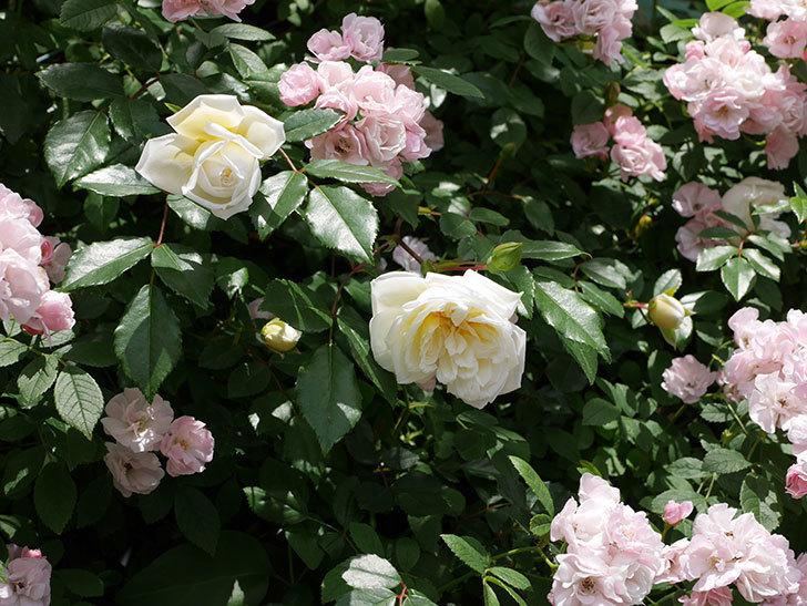 アルベリック・バルビエ(ツルバラ)の花がたくさん咲いた。2018年-30.jpg