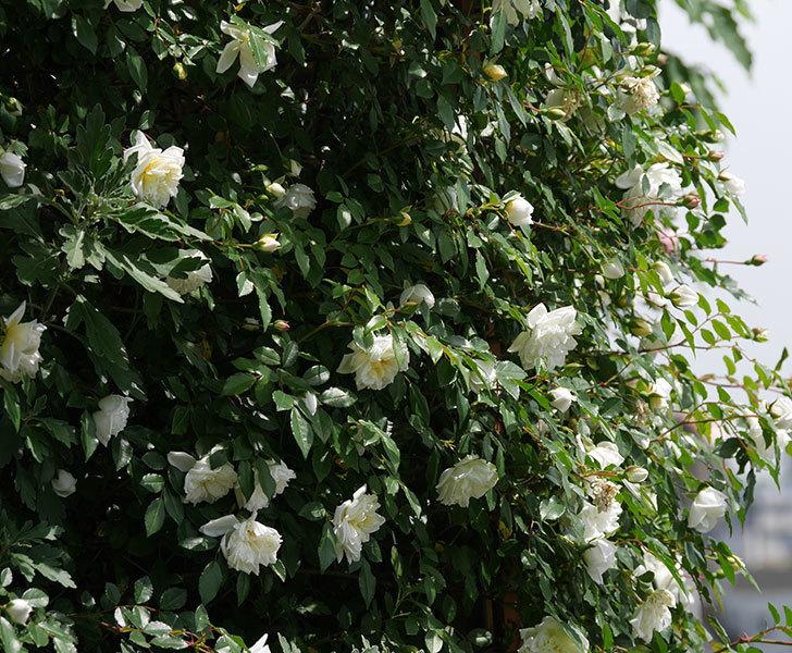 アルベリック・バルビエ(ツルバラ)の花がたくさん咲いた。2018年-31.jpg