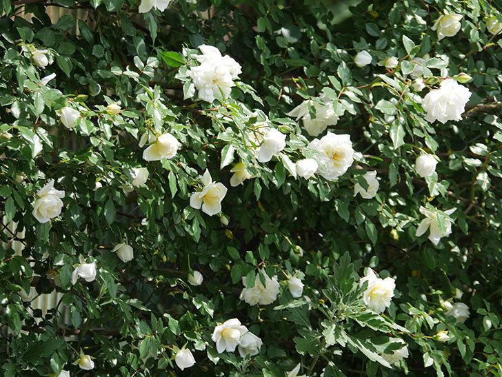 アルベリック・バルビエ(ツルバラ)の花がたくさん咲いた。2018年-32.jpg