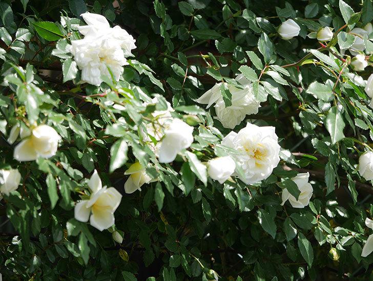 アルベリック・バルビエ(ツルバラ)の花がたくさん咲いた。2018年-33.jpg