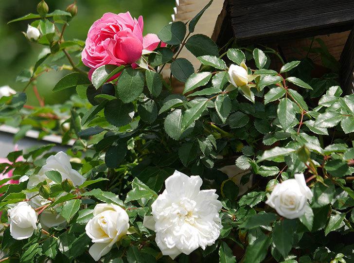 アルベリック・バルビエ(ツルバラ)の花がたくさん咲いた。2018年-34.jpg
