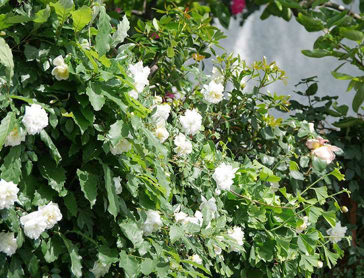 アルベリック・バルビエ(ツルバラ)の花がたくさん咲いた。2018年-35.jpg