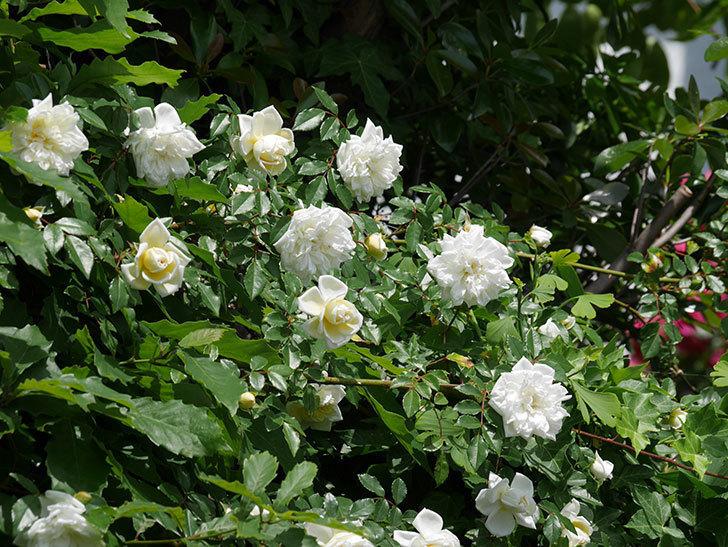 アルベリック・バルビエ(ツルバラ)の花がたくさん咲いた。2018年-36.jpg