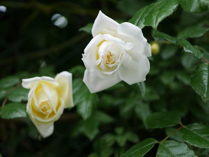 アルベリック・バルビエ(ツルバラ)の花がたくさん咲いた。2018年-37.jpg